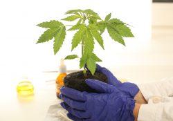 medicinsk cannabis